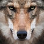 HR Wolf